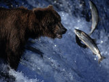 Grizzly Bear and Salmon, Brooks Falls, Katmai, AK Photographic Print by Kyle Krause