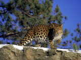 Amur Leopard, Panthera P Orientalis Photographie par D. Robert Franz