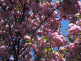 Flowering Cherry Tree, Ct Photographic Print by Bud Freund
