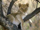 African Lion, Cub, Botswana Fotografisk tryk af Mark Hamblin