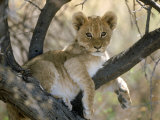 African Lion, Cub, Botswana Photographic Print by Mark Hamblin