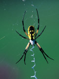 Garden Spider Photographic Print by David Davis