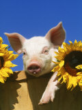Pig with Sunflowers in Bushel Photographic Print by Lynn M. Stone