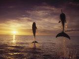 Bottlenose Dolphins, Tursiops Truncatus Photographic Print by Stuart Westmorland