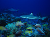 Blacktip Reef Sharks, Swimming, Polynesia Photographic Print by Gerard Soury
