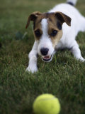 Jack Russell Terrier Playing with Ball in Backyard Photographic Print by Jim Corwin