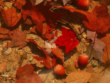 Fallen Leaves and Acorn Seeds Photographic Print by Steven Emery