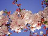 Kirschblüte Fotodruck von Rudi Von Briel