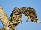 Barred Owl, Pair Bonding, Florida, USA Photographic Print by Stan Osolinski