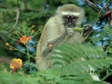 Vervet Monkey, Zimbabwe Photographic Print by Olaf Broders