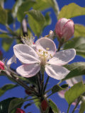 Apple Blossom Photographic Print by John Luke