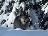 Gray Wolf Standing in Snow Covered Landscape Fotografisk trykk av Lynn M. Stone