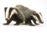 Badgers, Juveniles Photographic Print by Les Stocker