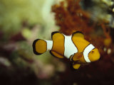 Clown Fish, Great Barrier Reef, Australia Fotografisk tryk af Ernest Manewal