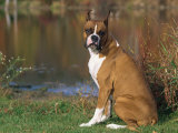 Boxer Dog Near a Pond Photographic Print by Lynn M. Stone