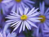 "Aster Pyrenaeus ""Lutetia"" Photographic Print by Lynn Keddie"