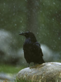 Raven, Perched on Rock in Falling Snow, Yellowstone National Park, USA Photographic Print by Mark Hamblin