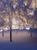 La luz atraviesa los árboles nevados, Anchorage, Alaska Lámina fotográfica por Mike Robinson