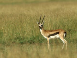 Thompsons Gazelle, Masai Mara NR, Kenya Photographic Print by Steve Turner