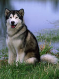 Alaskan Malamute Near a Pond Photographic Print by Lynn M. Stone