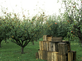 Apple Orchard, Apple Collecting in Wooden Boxes Fotoprint van Michele Lamontagne
