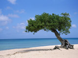 Divi Tree, Aruba Photographic Print by Jennifer Broadus