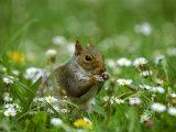 Grey Squirrel Fotografisk trykk av Mark Hamblin