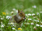 Grey Squirrel Photographic Print by Mark Hamblin