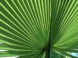 Palm Leaf, Scotland Photographic Print by Iain Sarjeant