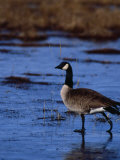 Canadian Goose in Water, CO Photographic Print by Elizabeth DeLaney