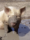 Close-up of Muddy Pig in Puddle Photographic Print by Ray Hendley