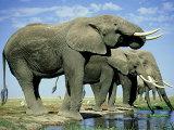 African Elephant, Amboseli National Park, Kenya Fotodruck von Martyn Colbeck