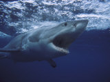 Great White Shark Photographic Print by Gerard Soury