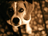Close-up of Beagle Puppy Photographic Print by Lonnie Duka