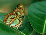 Malachite Butterfly, Siproeta Stelenes Photographic Print by Adam Jones