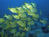 School of Tropical Fish Underwater Fotografisk tryk af Steve Essig