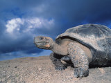 Giant Tortoise, Sunrise, Isabella Island, Galapagos Photographic Print by Mark Jones