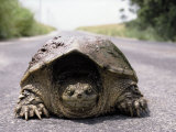 Alligator Snapping Turtle in the Road, Oklahoma Photographic Print by Allen Russell