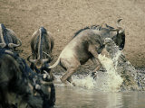Nile Crocodile, Attacks Wildebeest, Serengeti, Tz Lmina fotogrfica por Victoria Stone & Mark Deeble