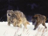 Pack of Timber Wolves (Canis Lupus) Fotografisk trykk av Elizabeth DeLaney