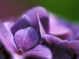 Hydrangea Macrophylla (Bouquet Rose), Close-up Fotoprint van Ruth Brown