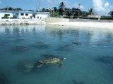 Green Sea Turtles, Turtle Farm, Grand Cayman Photographic Print by Anne Flinn Powell