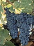 Wine Grapes, Vineyard, CA Fotografisk tryk af Mark Gibson