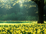 Spring Garden, Narcissus, Tree Bright Sunshine France Narcissi Paris Fotoprint van Martine Mouchy