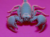 Emperor Scorpion Under UV Light, Africa Photographic Print by David M. Dennis