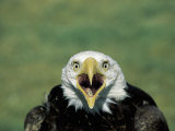 Adult Male Bald Eagle Photographic Print by Amy And Chuck Wiley/wales