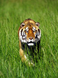 Bengal Tiger, Panthera Tigris Tigris Photographic Print by Adam Jones