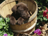 Chocolate Labrador Retriever in Basket Photographic Print by Lynn M. Stone