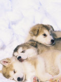 Alaskan Malamute Puppies in the Snow Photographic Print by Lynn M. Stone