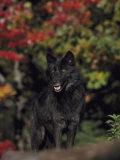 Timber Wolf, Close-up, USA Photographic Print by Mark Hamblin